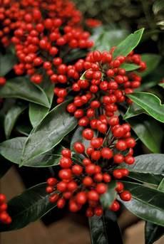 pflanze mit roten beeren pflanzenwissen leucothoe und skimmien garten
