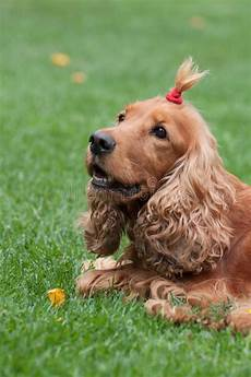 cocker spaniel with funny haircut vertical view stock image image of cute funny 62251803