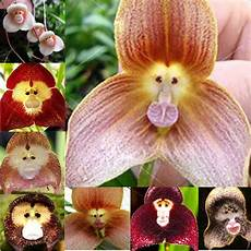 20pcs monkey orchid seeds beautiful plant home
