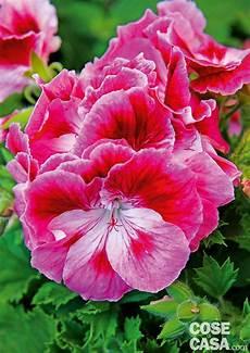 immagini di fiori da stare gerani diversi ecco i pi 249 belli cose di casa