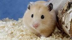 Animals Hamster Wallpaper Wallpaper Wallpaperlepi