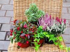 balkonpflanzen herbst winter balkonpflanzen set f 252 r balkonkasten 40 cm lang pflanzen