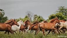 Kuda Dan Identitas Kultural Sumba Destinasian Indonesia