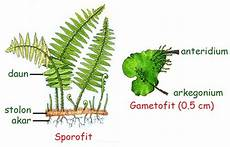 Struktur Tumbuhan Paku Pteridofita Info Pendidikan Dan