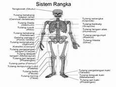 Sains Sukan Stpm Anatomi Fisiologi
