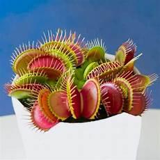 venus fly trap dionaea muscipula carnivorous plant