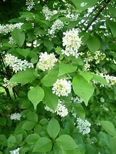 arbuste à fleurs blanches odorantes belles sauvages et plus juillet 2010