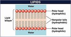 uipi8ds lipids structure function and classification of lipids