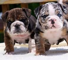 bulldog anglais a vendre bulldog puppies bulldog puppies