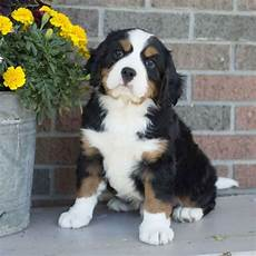 miniature bernese mountain puppies for sale