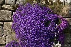fiori perenni da vaso aubretia pictures free use image 12 43 13 by freefoto