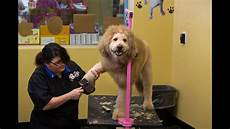 charles the lion dog gets his haircut in norfolk youtube