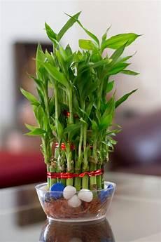 bambou en vase bambou en pot et lucky bambou entretien et symbolique