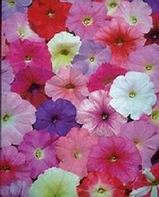 50 Pelleted Petunia Seeds Petunia Mix Seeds Buy
