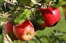 wann sind äpfel reif reife 196 pfel foto bild jahreszeiten herbst natur