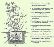 pflanzen veredelungsstelle richtig einpflanzen pflanzenfreunde