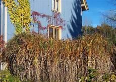 Gräser Im Winter - winterharte hohe ziergr 228 ser