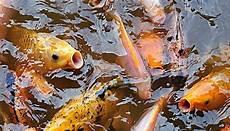 Cara Sukses Budidaya Ikan Di Kolam Beton Bagi