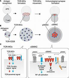 frontiers dynamic regulation of tcr microclusters and the microsynapse for t cell activation
