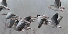réparer une chasse d eau 56444 vers la chasse des oies jusqu en f 233 vrier les chasseurs de gibiers d eau aussi sud ouest fr