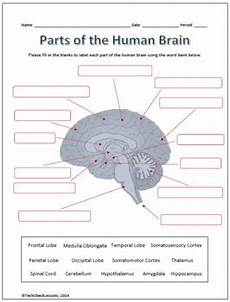 parts and functions of the brain labeling worksheet science tpt