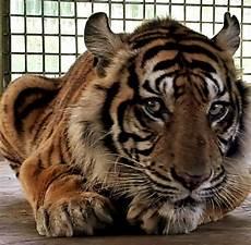Harimau Bonita Akan Dilepasliarkan Di Riau