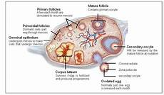 Ovary Diagram Healthiack
