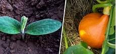 hokkaido kürbis anbauen k 252 rbis anpflanzen anbau pflege und ernte so geht s
