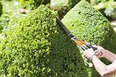 buchsbaum schneiden zeitpunkt hilfsmittel formen