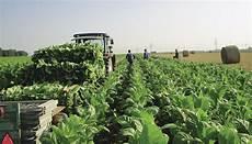 tabakanbau sensible bl 228 tter fordern extrem schonende ernte