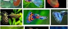 Gambar Ikan Guppy Hias Dan Got Atau Parit Dari Lokal