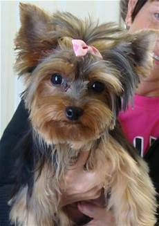 yorkies haircuts style dogs top dog pet yorkies pinterest pets style and yorkies