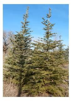 engelmann sprüche engelmann spruce willowcreek tree farms