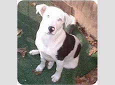 Roxie   Adopted Dog   Chiefland, FL   American Bulldog