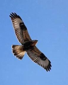 wildcat birding legged hawk