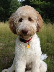 Types Of Goldendoodle Haircuts Google Search Diy | types of goldendoodle haircuts google search diy crafts that i love pinterest