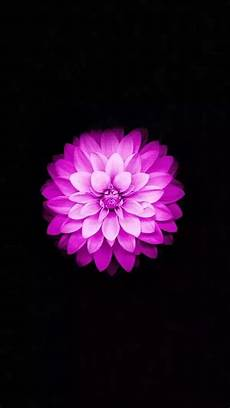 iphone wallpaper flowers is the flower that we see on apple s iphone 6 default
