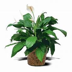 piante da appartamento con fiori bianchi cinco plantas de interior para principiantes flores losan