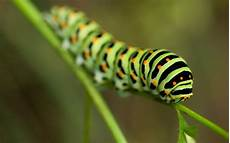 Insect Caterpillar Wallpaper by Green Caterpillar Insect On Leaf Wallpaper Hd Wallpapers