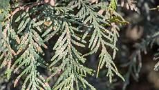 Thuja Wird Braun 187 Ursachen Und Ma 223 Nahmen Lebensbaum