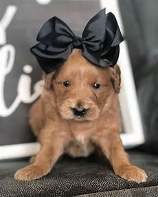 timber creek puppies for sale available mini goldendoodle puppies for sale by timber creek doodles in utah