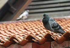 Tauben Effektvoll Aber Schonend Vertreiben