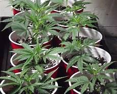 pflanze der woche ausgefüllt sea of green s o g eine der ertragsst 228 rksten