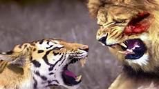 Perkelahian Harimau Vs Singa Sai Mati Siapa Yang