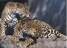 what is a jaguar called cbbc newsround pictures in pictures rainforest creatures