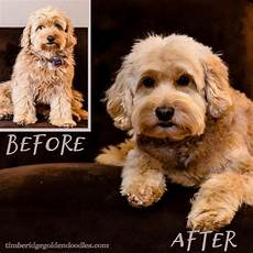 goldendoodle haircuts goldendoodle grooming timberidge goldendoodle grooming goldendoodle grooming goldendoodle dog haircuts