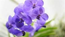 wie pflegt orchideen vanda orchidee pflege tipps