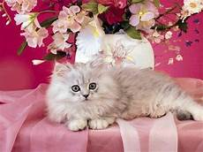 pink kitten wallpaper cat images cat on pink cats animals background wallpapers on