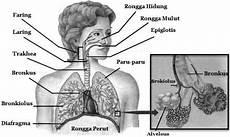 Organ Organ Pernapasan Manusia Mikirbae