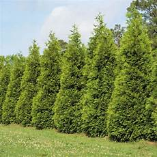 green arborvitae hollyhillnurseries